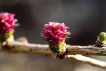 Ein noch junger Zapfen der Lärche by Ronald Nickel