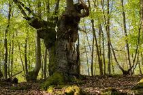 Alter knorriger Habitatbaum by Ronald Nickel