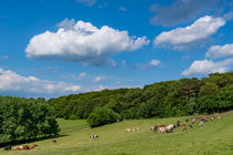 Glückliche Kühe auf der Weide by Ronald Nickel