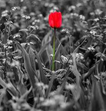 Red Tulip von Sally White