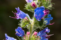 Die rot-blauen Blüten des Natternkopf by Ronald Nickel