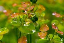 Wolfsmilchgewächs nach dem Regen by Ronald Nickel