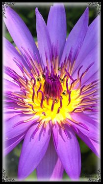 Seerose violett by Renata Stadelmann