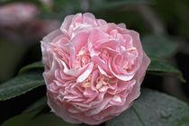 Rosa Kamelie - Camellia japonica L. 'Debutante' Theaceae by Dieter  Meyer