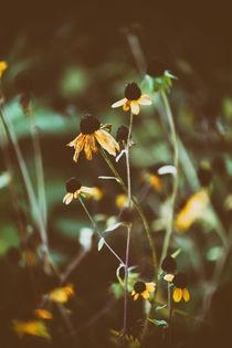 Welkender Sonnenhut  von Bastian  Kienitz