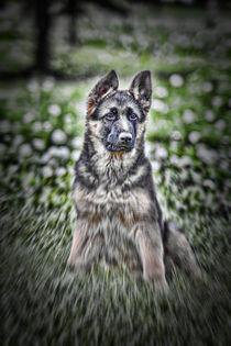 Young german shepherd portrait by Arpad Radoczy
