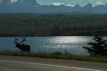 Elch in Kanada von stephiii