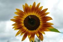 Sonnenblume von stephiii