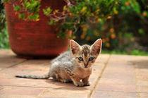 Kätzchen, Azoren II von Dorothee Rund