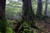 Mächtige Bäume im Wald by Ronald Nickel