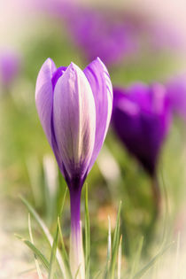 Crocus by Jeremy Sage