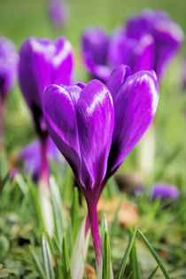 Crocuses by Jeremy Sage