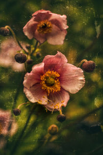 Autumn magic -  Herbstanemone by Chris Berger