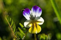 Eine der buntesten Blüten überhaupt, das Wilde Stiefmütterchen by Ronald Nickel