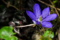 Aus dem Frühlingswald - Leberblümchen by Chris Berger