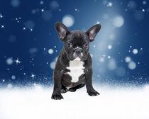 Cute French Bulldog Puppy Sitting in Snow Flakes Stars von Sapan Patel