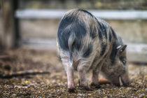 Piggy 9730M.jpg by Mario Fichtner