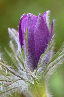 Pulsatillablüte von Bernhard Kaiser