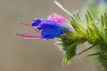 Die Blüte des Blauen Natternkopf by Ronald Nickel