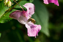 Blüte des Drüsigen Springkrauts mit Biene by Ronald Nickel