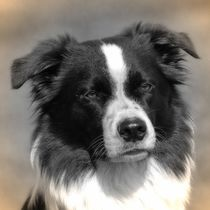Nostalgie Border Collie von kattobello