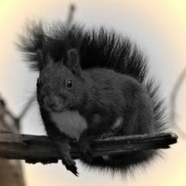 Nostalgie Schwarzes Eichhörnchen von kattobello