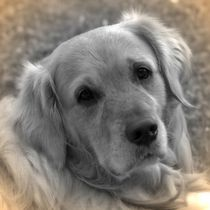 Nostalgie Golden Retriever von kattobello