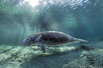 Karibik-Manati oder Nagel-Manati (Trichechus manatus) | West Indian manatee or Sea Cow (Trichechus manatus) by Norbert Probst