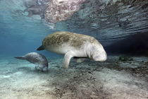 Karibik-Manati oder Nagel-Manati (Trichechus manatus), Muttertier, Kuh mit Kalb | West Indian manatee or Sea Cow (Trichechus manatus), Mother animal, cow with calf von Norbert Probst