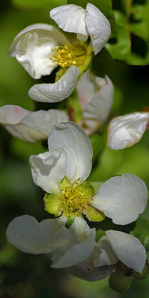 ' Quittenblüte - Quince blossom in the afternoon sun' von Chris Berger