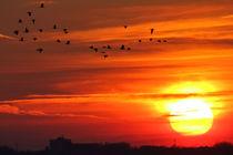 Wildgänse im Sonnenuntergang von ropo13