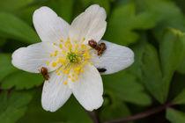 Flohkäfer tummeln sich auf der weißen Blüte der Anemone by Ronald Nickel