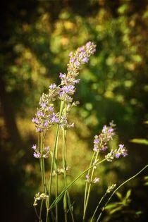 Lavendel - Blüten von Claudia Evans