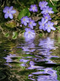 Blaublütig am Wasser - Leberblümchen by Chris Berger