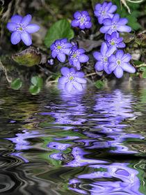 Blaublütig - Leberblümchen by Chris Berger