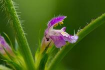 Ein Tausendsassa die Blüte des Stechenden-Hohlzahn von Ronald Nickel