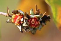 Blüten des Eisenholzbaum von Bernhard Kaiser