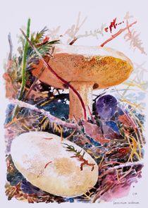 Leccinum scabram by Geoff Amos