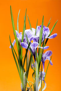 Bush of crocus on an orange background by Valentin Ivantsov