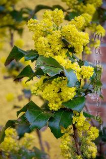 spring time - Mahonia aquifolium by Chris Berger