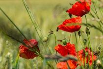Mohnblüten am Getreidefeld von Ronald Nickel