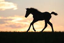 Morgan Horse Fohlen, Galopp im Abendlicht by Sabine Stuewer