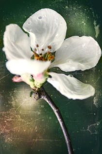 Spring in the orchard - Apple blossom by Chris Berger