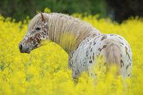Curly Horse Hengst in Rapsfeld von Sabine Stuewer