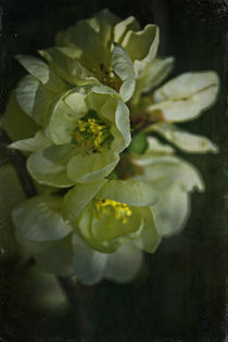 Spring in the ornamental garden - Quince blossom by Chris Berger
