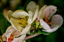 Spring time - quince blossom by Chris Berger