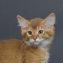 Somali Kitten by Heidi Bollich