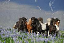 Isländer Herde in Bewegung in Lupinen auf Island by Sabine Stuewer