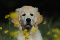 Golden Retriever Welpe, Portrait von Sabine Stuewer