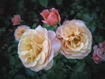 Rosen von Christine Horn